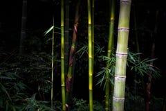 Bambus im schwarzen Hintergrund Stockfoto
