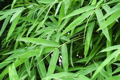Bambus, liście, tło, zieleń, ściana, naturalna obrazy royalty free