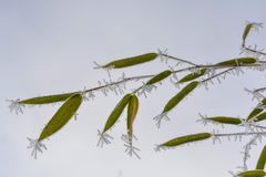 bambus marznący Obrazy Royalty Free