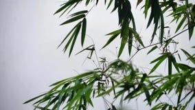 Bambus Opuszcza kiwanie w wiatrze zbiory