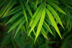Bambus opuszcza tło Zdjęcia Royalty Free