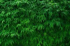 Bambus opuszcza tło Obrazy Royalty Free