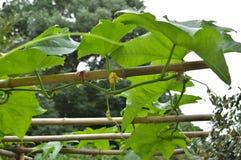 Bambus-Polen für Gemüseanbau-Tragkonstruktions-Gitter lizenzfreie stockfotografie