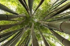 Bambus que crescem em direção ao céu fotos de stock royalty free