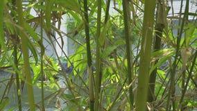 Bambus rozgałęzia się w tropikalnym ogródzie na lato stawu tle Zielony bambus w dekoracyjnym ogródzie na staw wody tle zdjęcie wideo