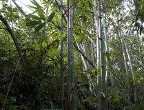 Bambus selvagens que crescem Formosa foto de stock royalty free