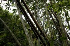 Bambus selvagens que crescem Formosa fotos de stock