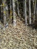 bambus suszący liść Fotografia Stock