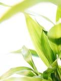 bambus szczęście Obraz Stock