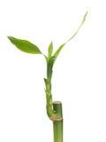 bambus szczęsliwy Zdjęcie Royalty Free