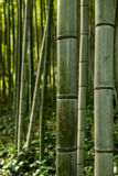 Bambus Trastevere przy ogródem botanicznym, Rzym, Włochy (Orto Botanico) Obraz Stock