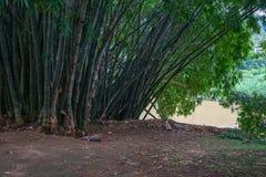 Bambus w Królewskim ogródzie botanicznym Obrazy Royalty Free