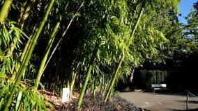 Bambus W popióle Na słonecznym dniu zbiory
