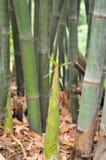 Bambus wypłasza Zdjęcia Stock