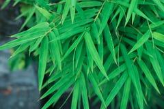 Bambus zieleń opuszcza naturalnemu tłu japońskiego środowisko podbródek fotografia stock