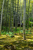 Bambusa i mech las Zdjęcie Stock