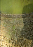 Bambusa korzeń Obraz Stock