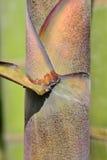 Bambusa korzeń Zdjęcie Royalty Free