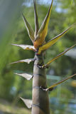 Bambusa korzeń Obraz Royalty Free