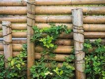 Bambusa ogrodzenie z dużo rośliny Zdjęcie Royalty Free