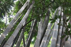 Bambusa oldhamii or Bamboo Amazonia. Bamboo has lignified stems used in the manufacture of various objects such as musical instruments, furniture, baskets and stock photography