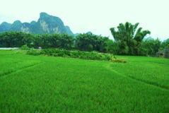 bambusa pola zieleni Guilin ryż yangshuo Obrazy Stock