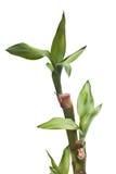 bambusa szczęsliwy odosobniony Zdjęcie Royalty Free