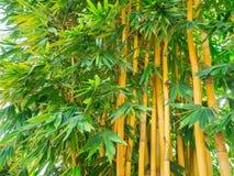 Bambusa vulgaris l'espace en bambou asiatique d'espèces pour t Images libres de droits