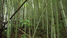 Bambusa zielony las w Alishan wycieczkuje teren, ruitai historyczny ?lad w Tajwan zbiory wideo
