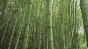 Bambusa zielony las w Alishan wycieczkuje teren, ruitai historyczny ?lad w Tajwan zdjęcie wideo