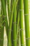 Bambusa zielony las w Thailand Fotografia Stock