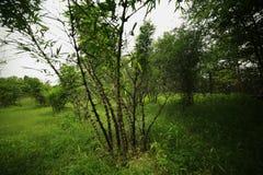 Bambusanlage stockfotografie