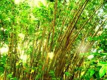 Bambusanlagen Lizenzfreies Stockbild