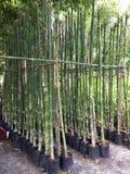 Bambusanlagen für Verkauf stockbild