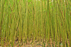 Bambusbäume in Hana, Maui Stockbilder