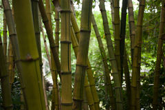 Bambusbaum Stockfotos