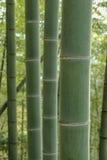 Bambusbaum Lizenzfreies Stockfoto