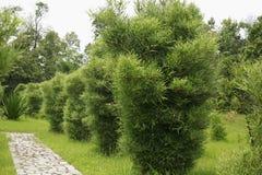 Bambusbaum lizenzfreie stockfotografie