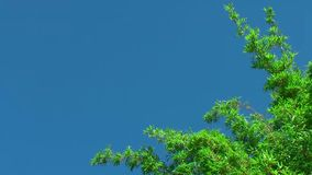 Bambusbaum-Beeinflussen stock video