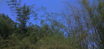 Bambusbaum pic lizenzfreies stockbild