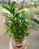 Bambusbaumgrünnaturliebes-Glückphotographie Lizenzfreies Stockfoto