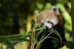 Bambusbissen des roten Pandas Lizenzfreie Stockfotos