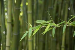 Bambusblätter, Bambuswald, grüner Naturhintergrund Lizenzfreie Stockbilder