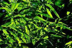 Bambusblätter mit Sonnenlicht Lizenzfreies Stockbild