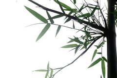 Bambusblatt lokalisiert auf weißem Hintergrund stockbild