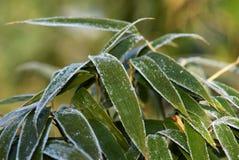 Bambusblatt mit Frost Lizenzfreie Stockbilder