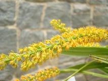 Bambusifolia d'Arundina d'orchidée Image libre de droits