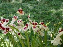 Bambusifolia de Arundina da orquídea imagens de stock