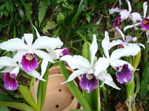 Bambusifolia van orchideearundina Stock Afbeeldingen
