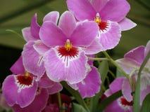 Bambusifolia van orchideearundina Royalty-vrije Stock Foto